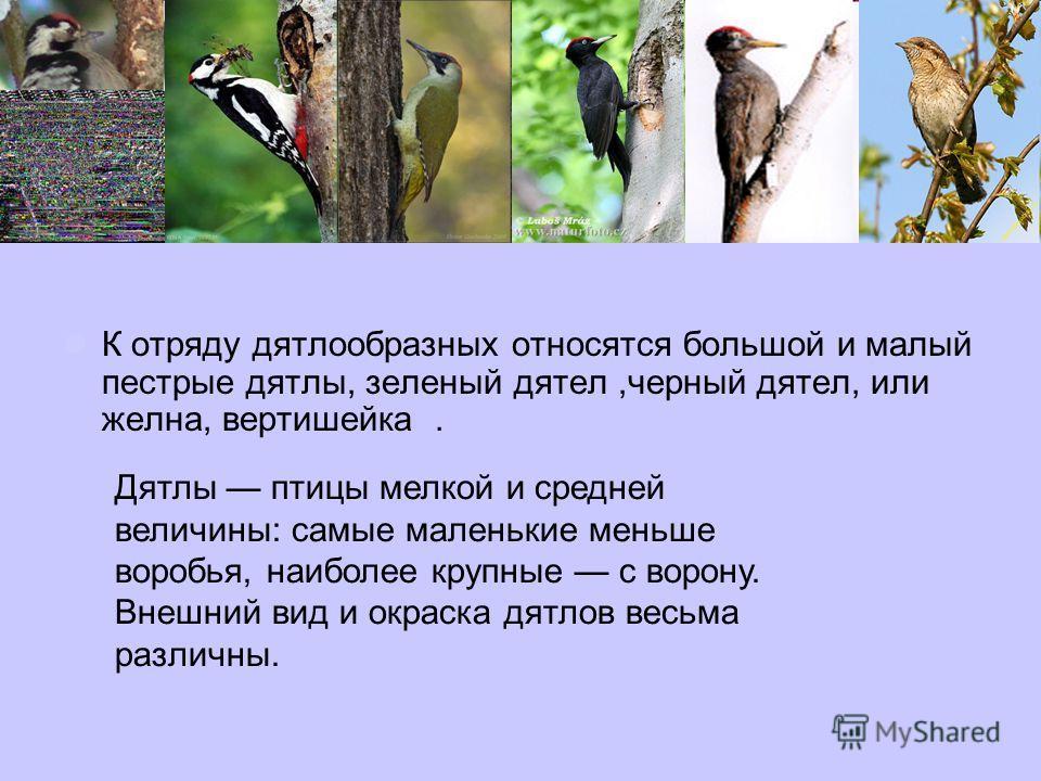 К отряду дятлообразных относятся большой и малый пестрые дятлы, зеленый дятел,черный дятел, или желна, вертишейка. Дятлы птицы мелкой и средней величины: самые маленькие меньше воробья, наиболее крупные с ворону. Внешний вид и окраска дятлов весьма р