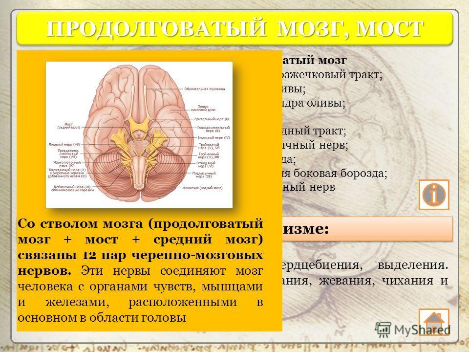 Продолговатый мозг 1 оливомозжечковый тракт; 2 ядро оливы; 3 ворота ядра оливы; 4 олива; 5 пирамидный тракт; 6 подъязычный нерв; 7 пирамида; 8 передняя боковая борозда; 9 добавочный нерв ПРОДОЛГОВАТЫЙ МОЗГ, МОСТ Функции в организме: Регуляция пищевар