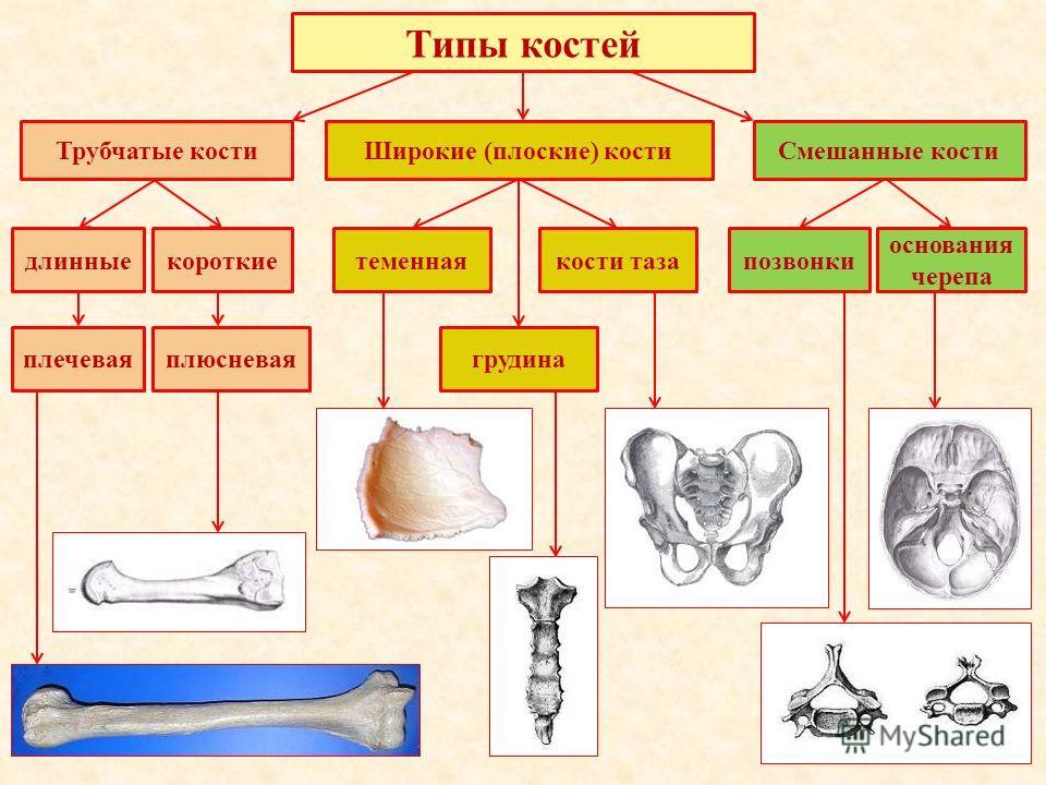 Трубчатые костиШирокие (плоские) костиСмешанные кости длинныекороткие плечеваяплюсневая теменная грудина кости тазапозвонки основания черепа Типы костей