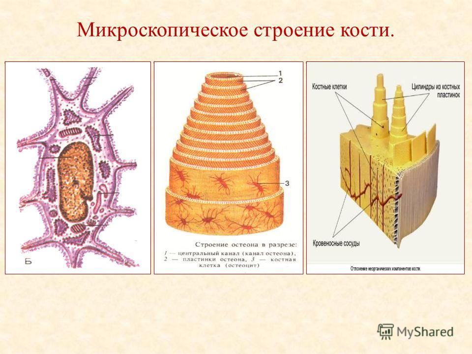 Микроскопическое строение кости.