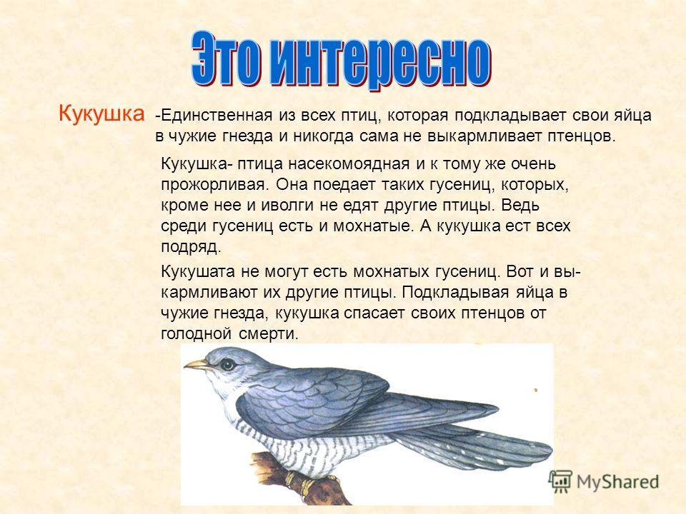 Кукушка -Единственная из всех птиц, которая подкладывает свои яйца в чужие гнезда и никогда сама не выкармливает птенцов. Кукушка- птица насекомоядная и к тому же очень прожорливая. Она поедает таких гусениц, которых, кроме нее и иволги не едят други