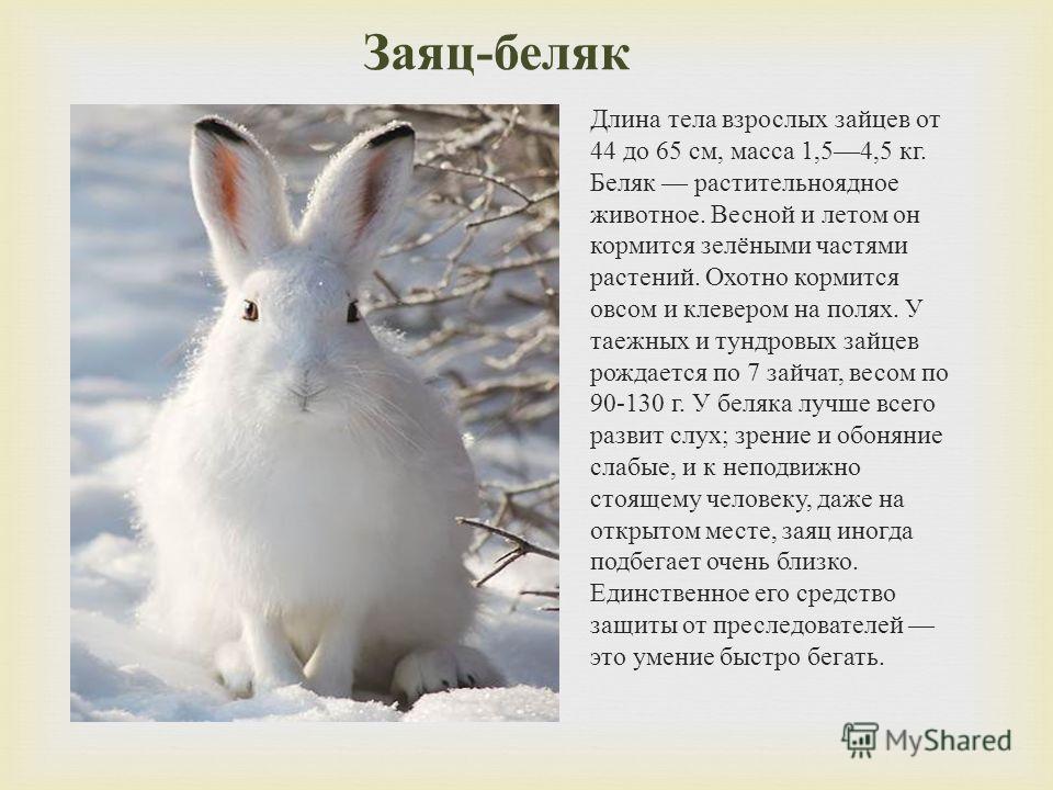 Заяц - беляк Длина тела взрослых зайцев от 44 до 65 см, масса 1,54,5 кг. Беляк растительноядное животное. Весной и летом он кормится зелёными частями растений. Охотно кормится овсом и клевером на полях. У таежных и тундровых зайцев рождается по 7 зай