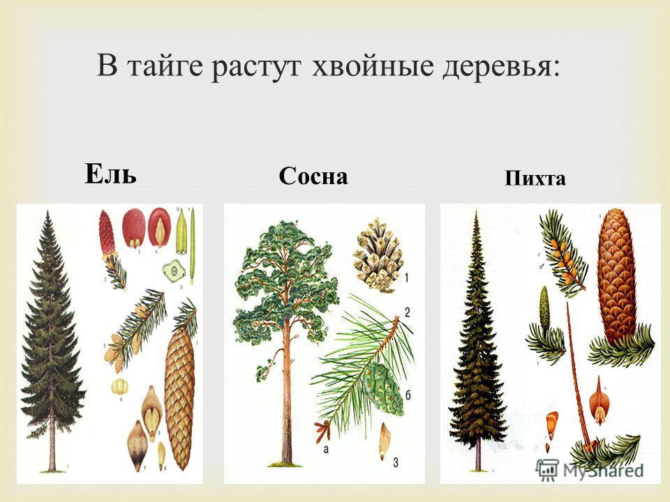 В тайге растут хвойные деревья : Ель Сосна Пихта