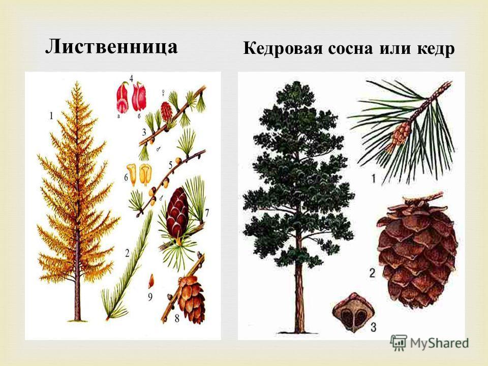 Лиственница Кедровая сосна или кедр