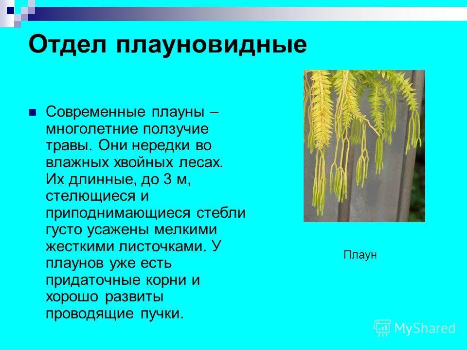 Отдел плауновидные Современные плауны – многолетние ползучие травы. Они нередки во влажных хвойных лесах. Их длинные, до 3 м, стелющиеся и приподнимающиеся стебли густо усажены мелкими жесткими листочками. У плаунов уже есть придаточные корни и хорош