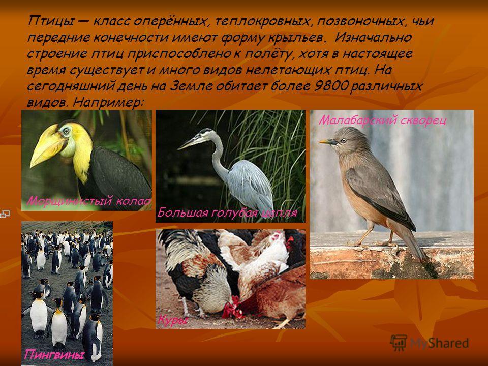 Птицы класс оперённых, теплокровных, позвоночных, чьи передние конечности имеют форму крыльев. Изначально строение птиц приспособлено к полёту, хотя в настоящее время существует и много видов нелетающих птиц. На сегодняшний день на Земле обитает боле