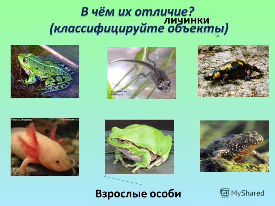 Взрослые особи личинки