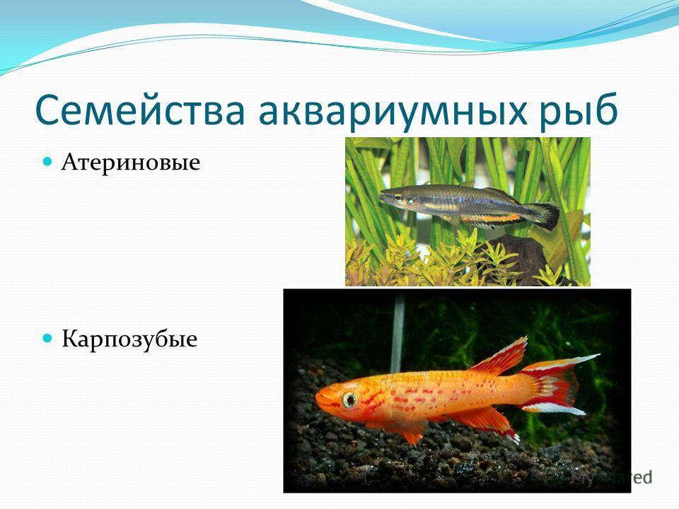 Семейства аквариумных рыб Атериновые Карпозубые