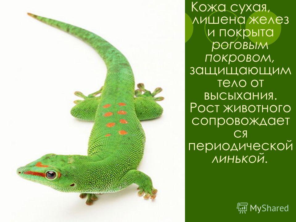Кожа сухая, лишена желез и покрыта роговым покровом, защищающим тело от высыхания. Рост животного сопровождает ся периодической линькой.