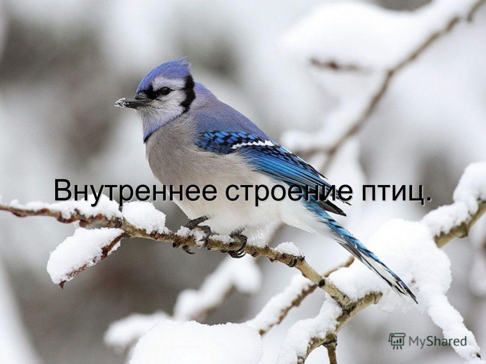 Внутреннее строение птиц.