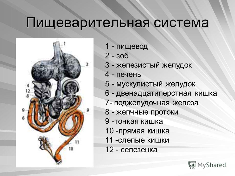 Пищеварительная система 1 - пищевод 2 - зоб 3 - железистый желудок 4 - печень 5 - мускулистый желудок 6 - двенадцатиперстная кишка 7- поджелудочная железа 8 - желчные протоки 9 -тонкая кишка 10 -прямая кишка 11 -слепые кишки 12 - селезенка