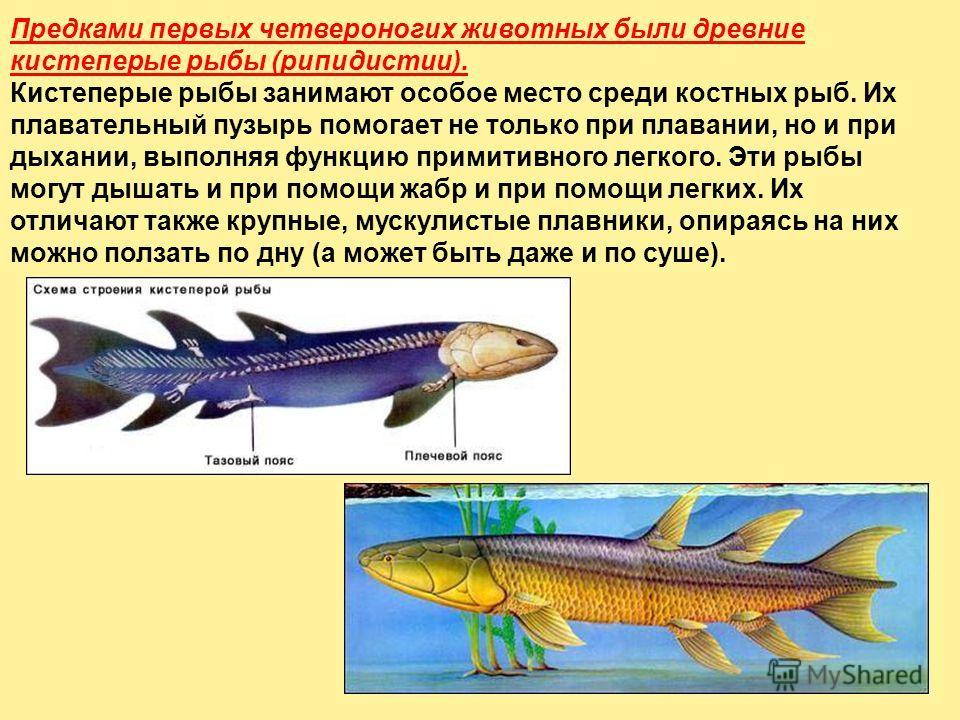 Предками первых четвероногих животных были древние кистеперые рыбы (рипидистии). Кистеперые рыбы занимают особое место среди костных рыб. Их плавательный пузырь помогает не только при плавании, но и при дыхании, выполняя функцию примитивного легкого.