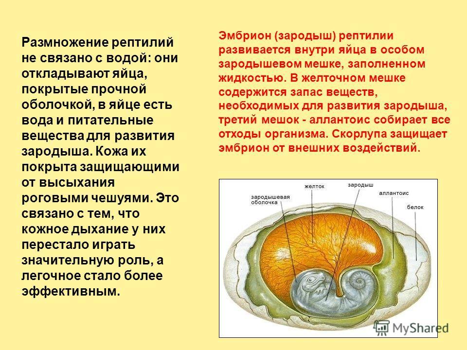 Эмбрион (зародыш) рептилии развивается внутри яйца в особом зародышевом мешке, заполненном жидкостью. В желточном мешке содержится запас веществ, необходимых для развития зародыша, третий мешок - аллантоис собирает все отходы организма. Скорлупа защи