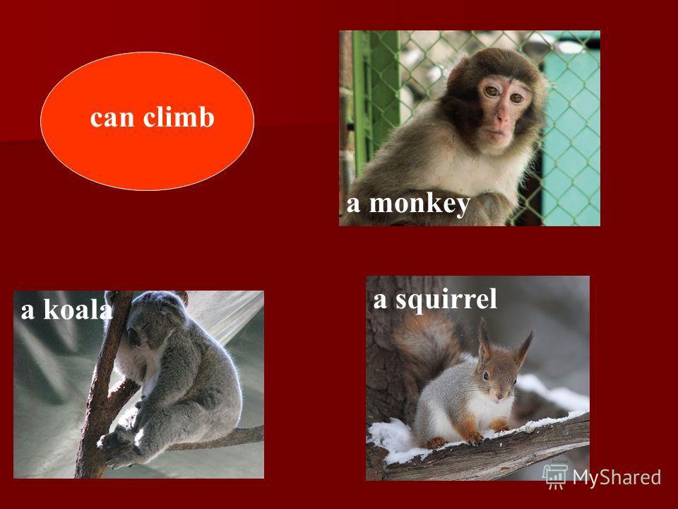 can climb a koala a squirrel a monkey