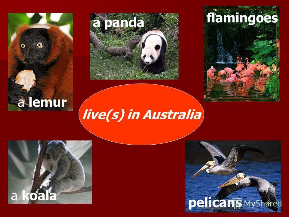 live(s) in Australia a panda flamingoes a lemur a koala pelicans