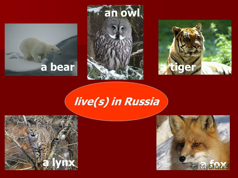 live(s) in Russia a beara tiger an owl a fox a lynx