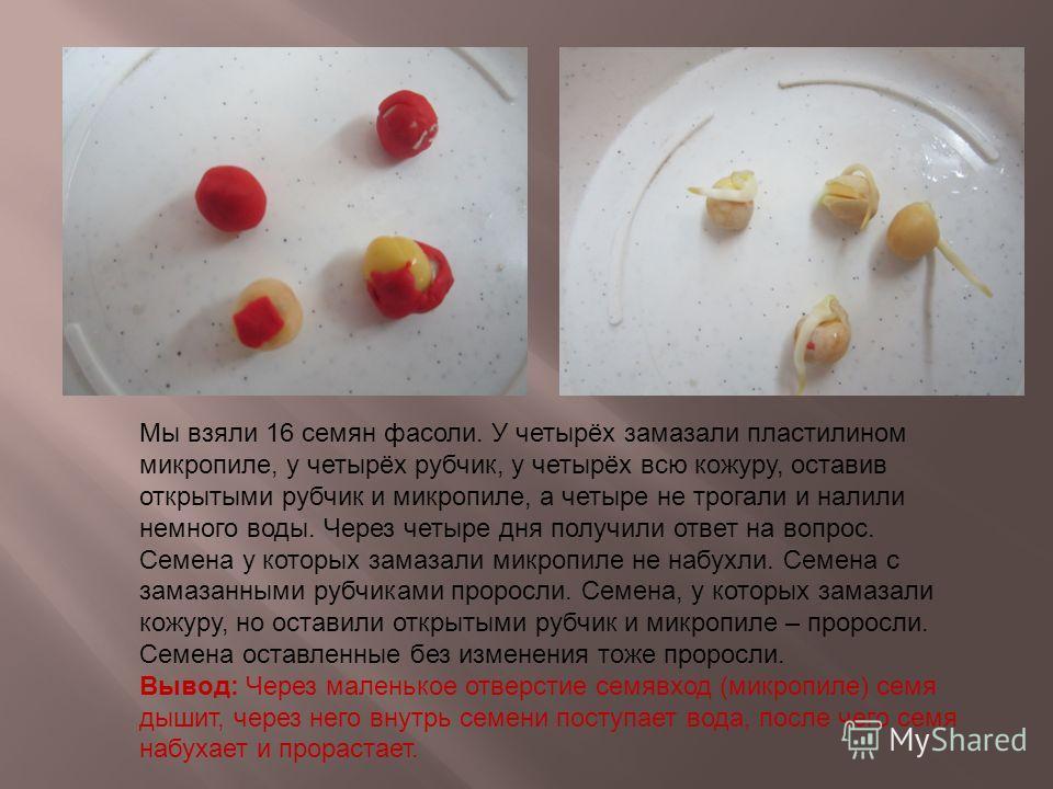Мы взяли 16 семян фасоли. У четырёх замазали пластилином микропиле, у четырёх рубчик, у четырёх всю кожуру, оставив открытыми рубчик и микропиле, а четыре не трогали и налили немного воды. Через четыре дня получили ответ на вопрос. Семена у которых з
