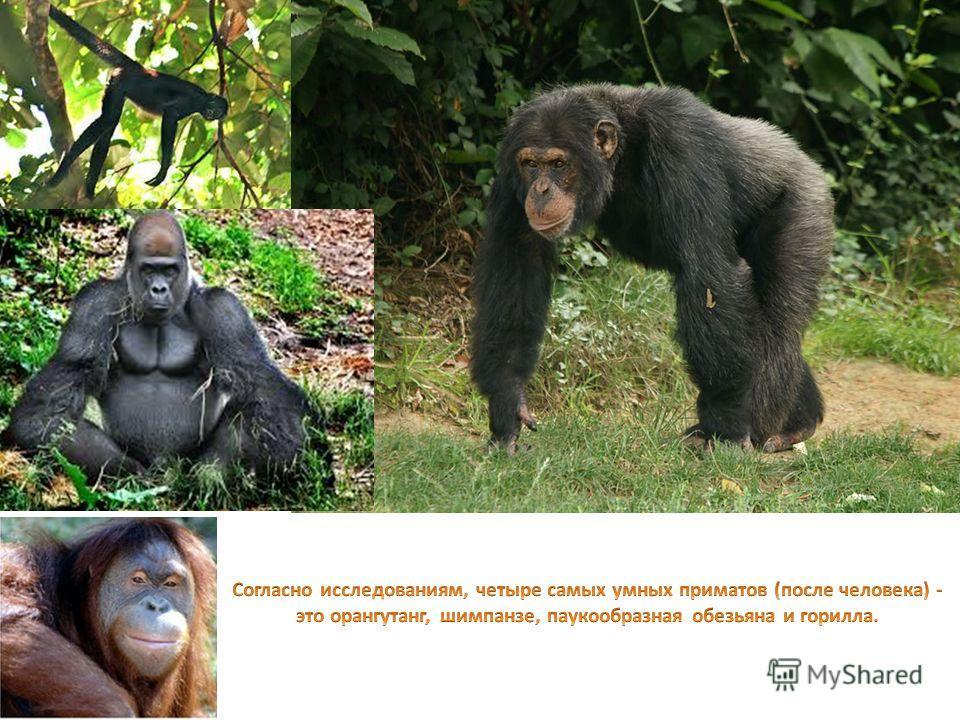 Чтобы предупредить сородичей о надвигающейся опасности орангутанги издают очень громкие звуки отрыжки.