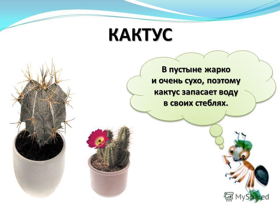 В пустыне жарко и очень сухо, поэтому кактус запасает воду в своих стеблях. КАКТУС