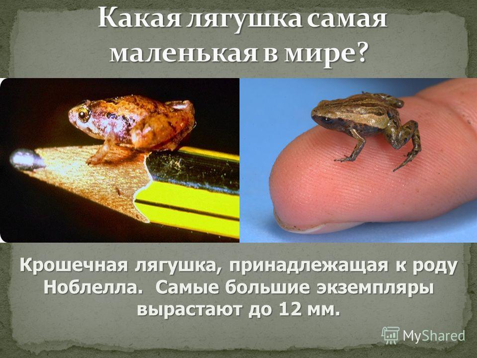 Крошечная лягушка, принадлежащая к роду Ноблелла. Самые большие экземпляры вырастают до 12 мм.