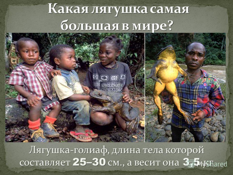 Лягушка-голиаф, длина тела которой составляет 25–30 см., а весит она 3,5 кг