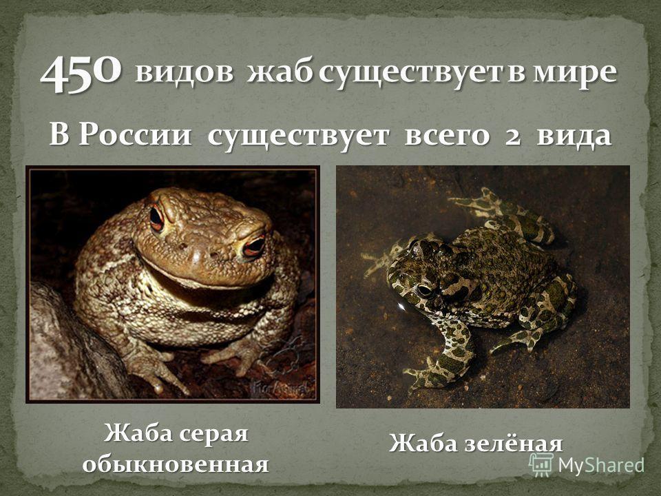 В России существует всего 2 вида Жаба серая обыкновенная Жаба зелёная