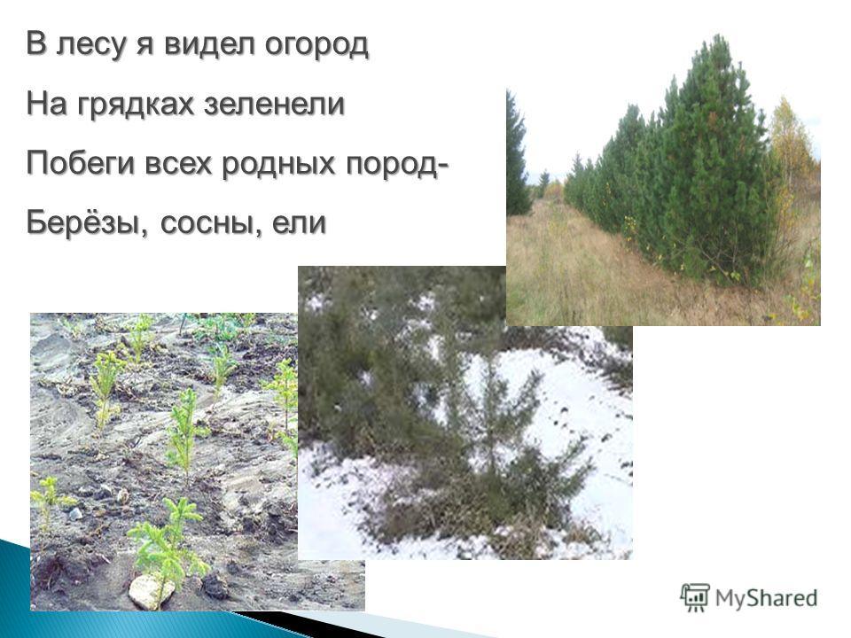 В лесу я видел огород На грядках зеленели Побеги всех родных пород- Берёзы, сосны, ели