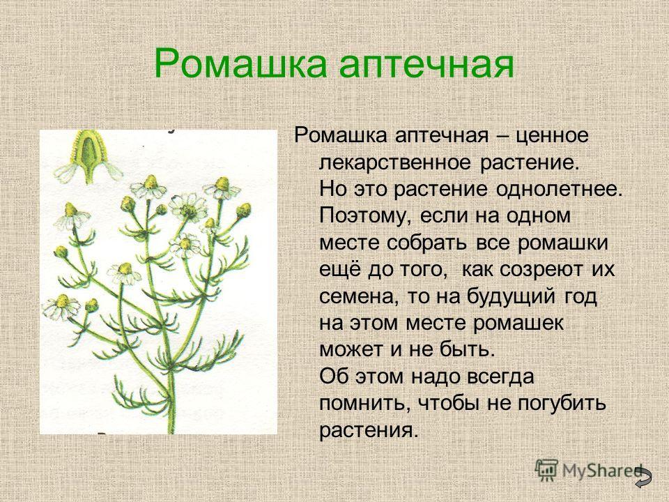 Ромашка аптечная Ромашка аптечная – ценное лекарственное растение. Но это растение однолетнее. Поэтому, если на одном месте собрать все ромашки ещё до того, как созреют их семена, то на будущий год на этом месте ромашек может и не быть. Об этом надо
