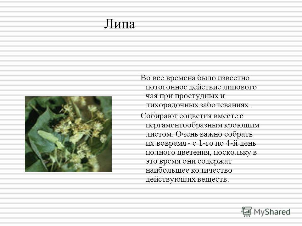 Липа Во все времена было известно потогонное действие липового чая при простудных и лихорадочных заболеваниях. Собирают соцветия вместе с пергаментообразным кроющим листом. Очень важно собрать их вовремя - с 1-го по 4-й день полного цветения, посколь