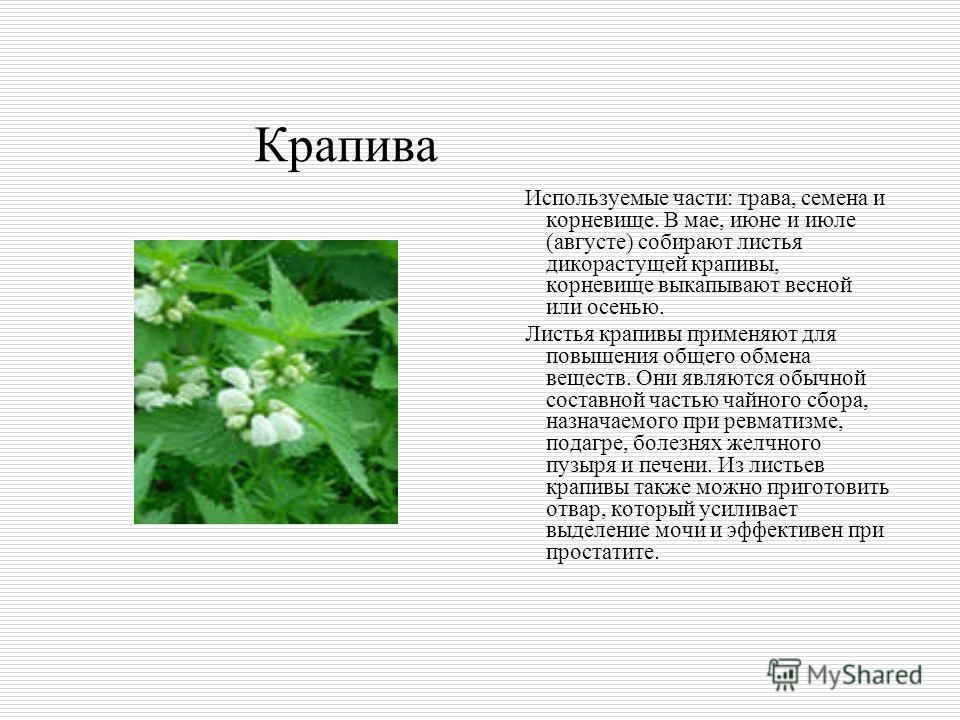 Крапива Используемые части: трава, семена и корневище. В мае, июне и июле (августе) собирают листья дикорастущей крапивы, корневище выкапывают весной или осенью. Листья крапивы применяют для повышения общего обмена веществ. Они являются обычной соста