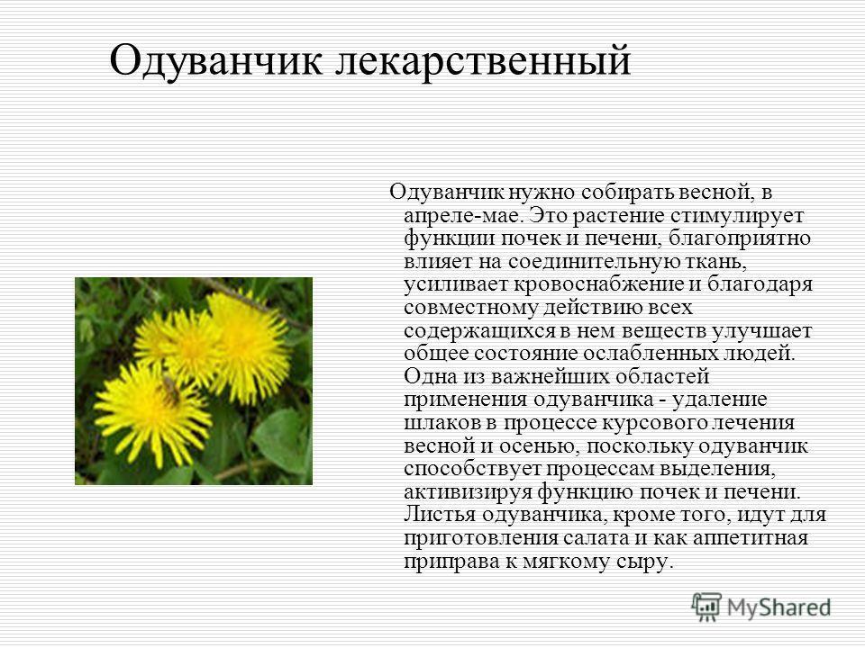 Одуванчик лекарственный Одуванчик нужно собирать весной, в апреле-мае. Это растение стимулирует функции почек и печени, благоприятно влияет на соединительную ткань, усиливает кровоснабжение и благодаря совместному действию всех содержащихся в нем вещ