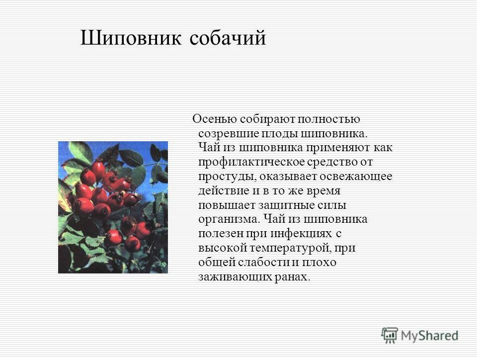 Шиповник собачий Осенью собирают полностью созревшие плоды шиповника. Чай из шиповника применяют как профилактическое средство от простуды, оказывает освежающее действие и в то же время повышает защитные силы организма. Чай из шиповника полезен при и