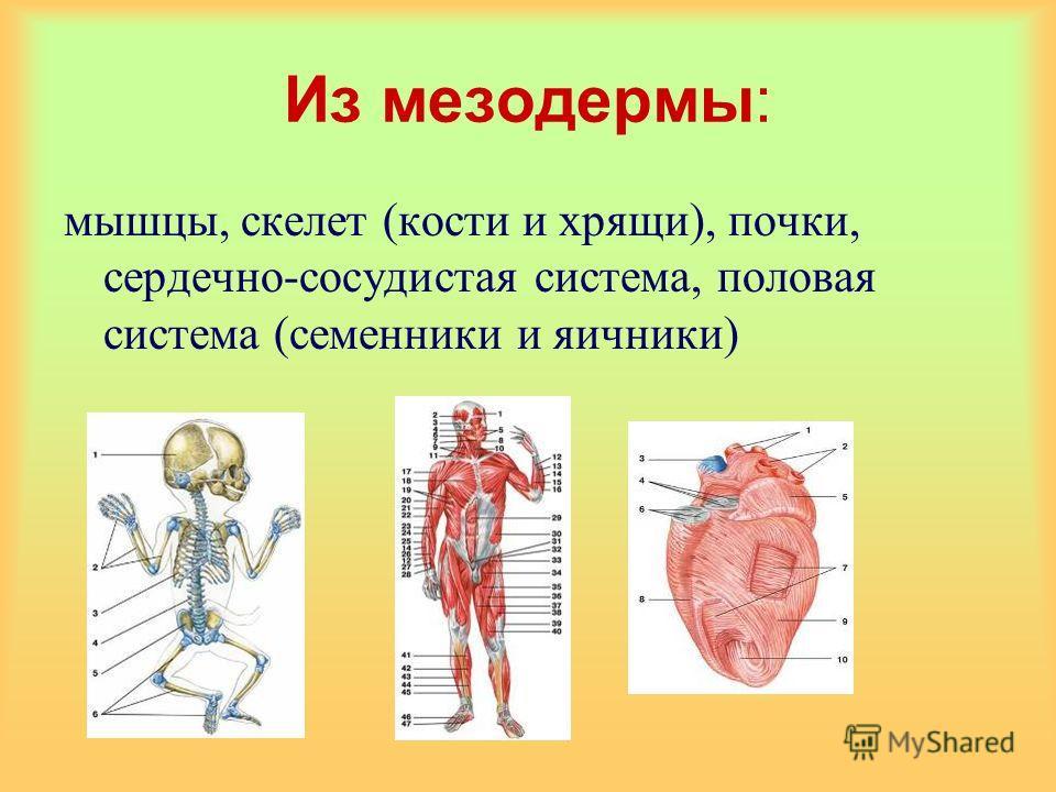 Из мезодермы: мышцы, скелет (кости и хрящи), почки, сердечно-сосудистая система, половая система (семенники и яичники)