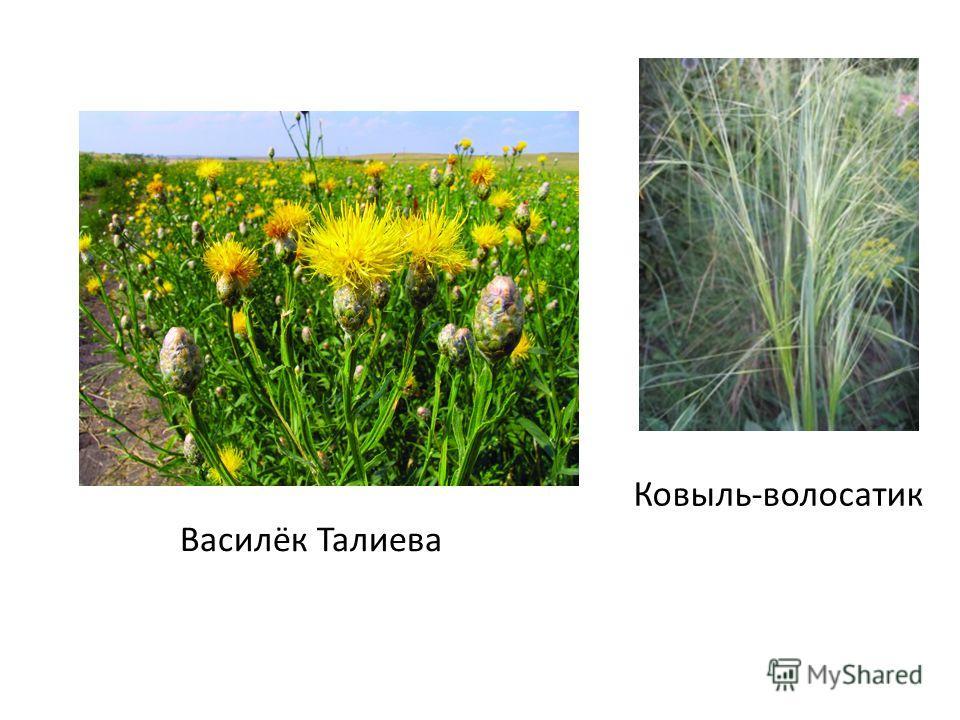 Ковыль-волосатик Василёк Талиева