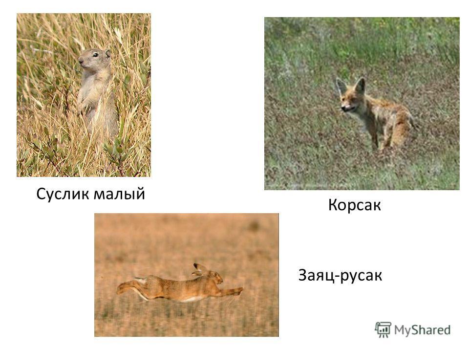 Суслик малый Корсак Заяц-русак