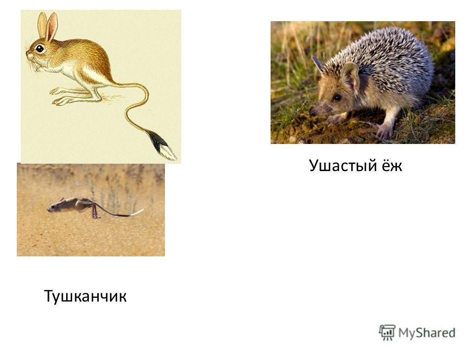 Ушастый ёж Тушканчик