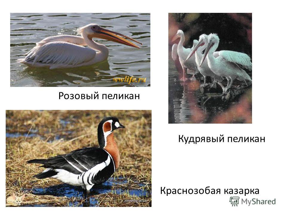 Розовый пеликан Кудрявый пеликан Краснозобая казарка