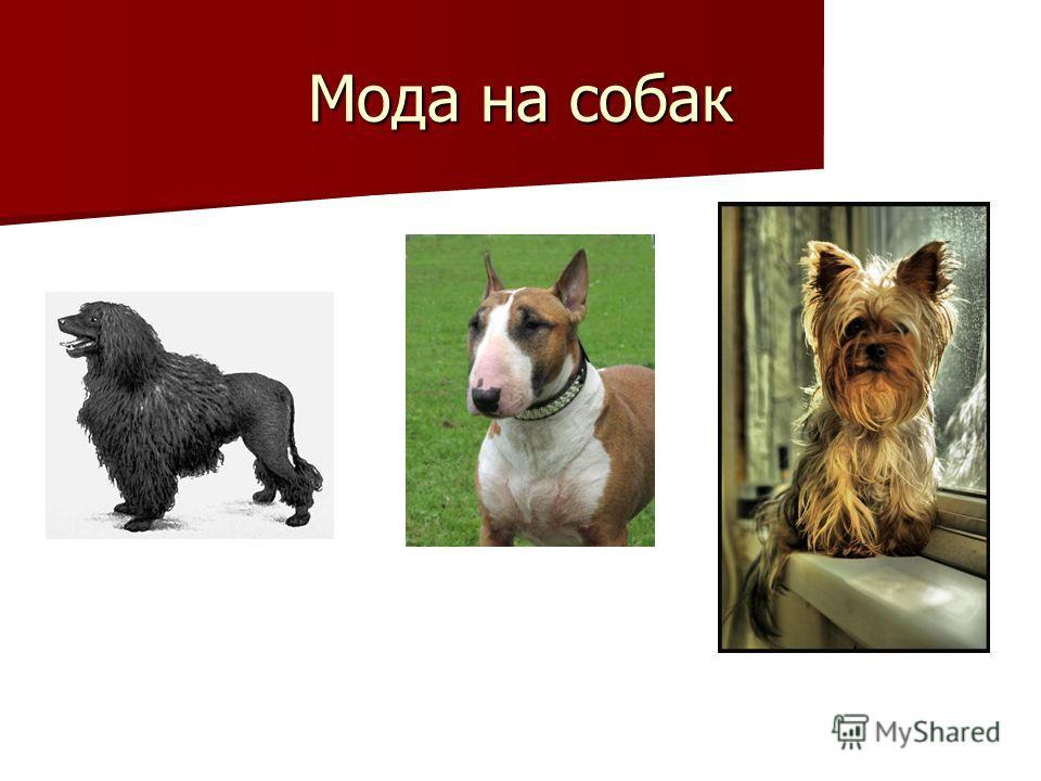 Мода на собак Пудель – Буль-терьер – Йоркширский терьер
