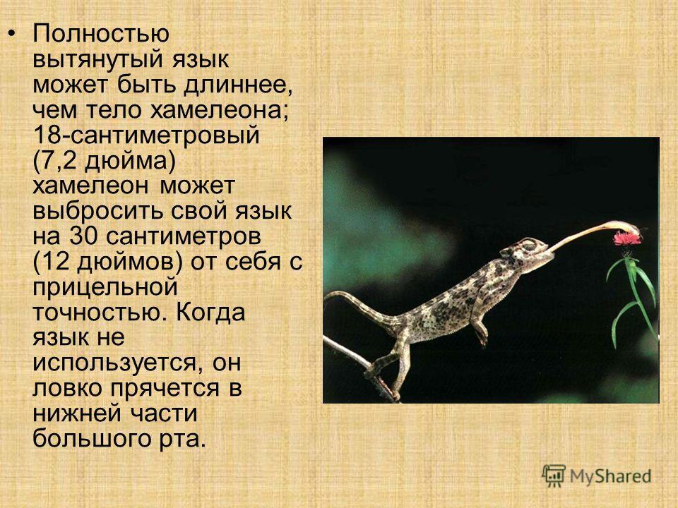 Полностью вытянутый язык может быть длиннее, чем тело хамелеона; 18-сантиметровый (7,2 дюйма) хамелеон может выбросить свой язык на 30 сантиметров (12 дюймов) от себя с прицельной точностью. Когда язык не используется, он ловко прячется в нижней част