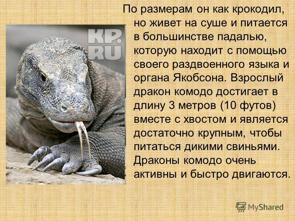 По размерам он как крокодил, но живет на суше и питается в большинстве падалью, которую находит с помощью своего раздвоенного языка и органа Якобсона. Взрослый дракон комодо достигает в длину 3 метров (10 футов) вместе с хвостом и является достаточно