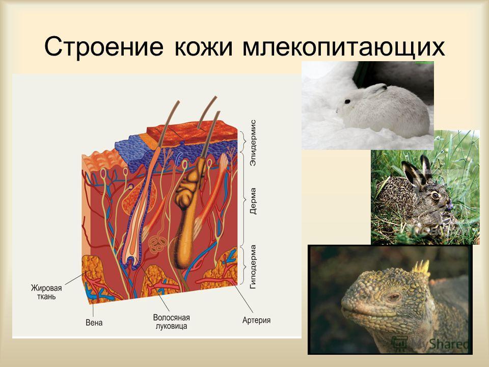 Общая характеристика млекопитающих 4. Тело подразделено на голову, шею, туловище, парные передние и задние конечности, хвост. Конечности расположены под туловищем, благодаря чему оно приподнято над землей, что дает возможность животным передвигаться