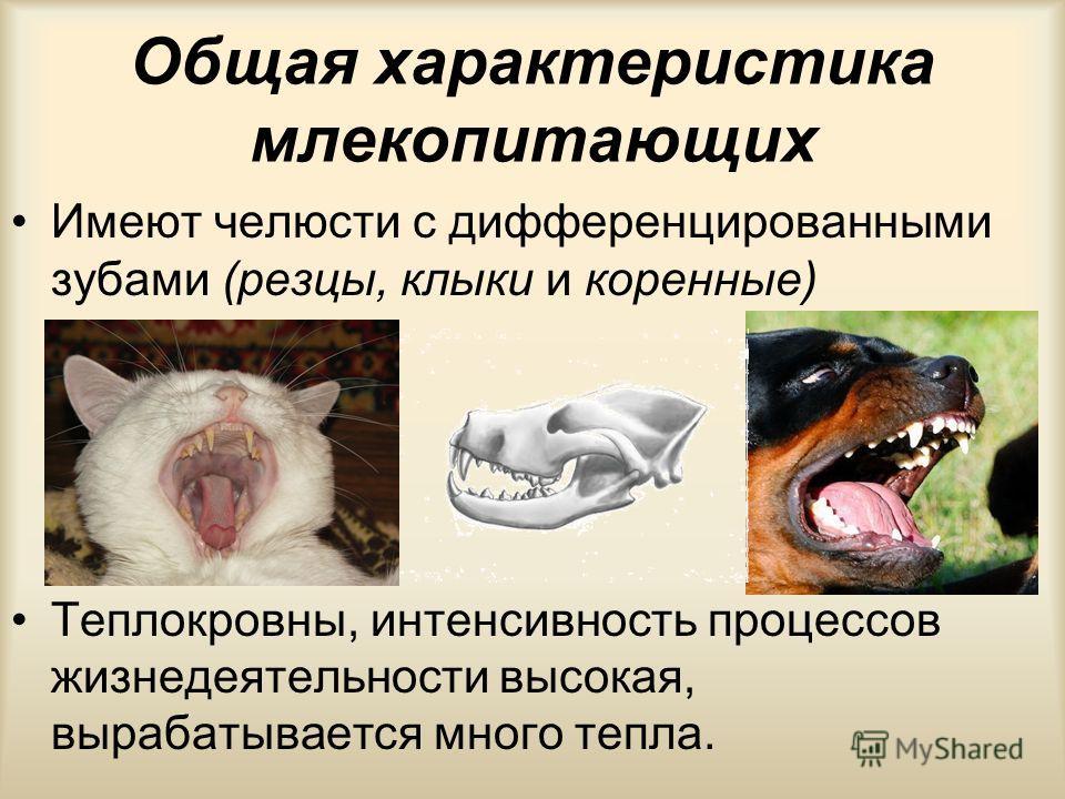 Общая характеристика млекопитающих Раздельнополые животные с внутренним оплодотворением и живорождением. Питание и газообмен зародыша происходит через плаценту Вскармливают детёнышей молоком