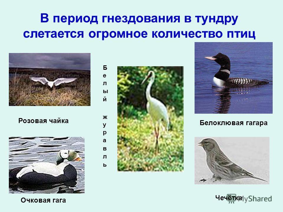 В период гнездования в тундру слетается огромное количество птиц Розовая чайка Белоклювая гагара Чечётка Очковая гага