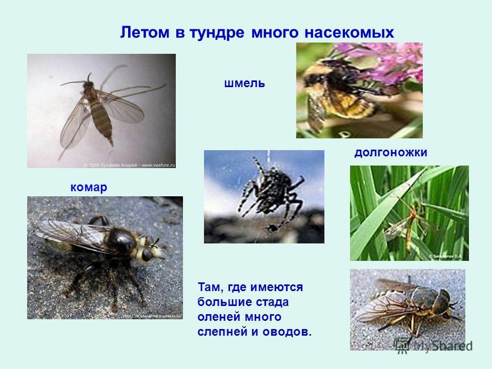 Летом в тундре много насекомых комар шмель долгоножки Там, где имеются большие стада оленей много слепней и оводов.