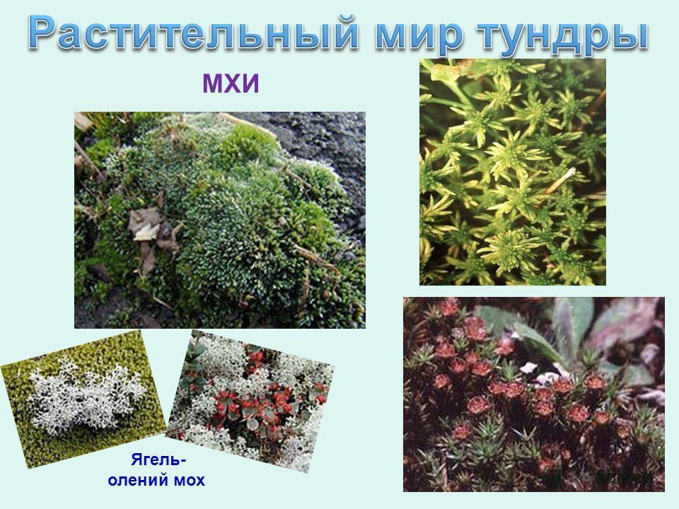 МХИ Ягель- олений мох