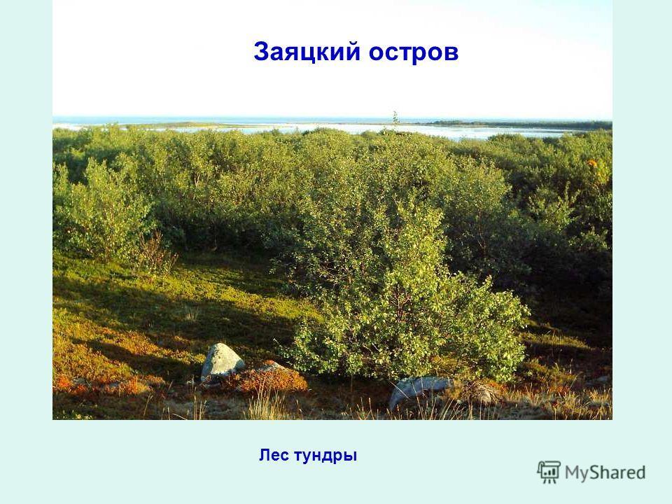 Заяцкий остров Лес тундры