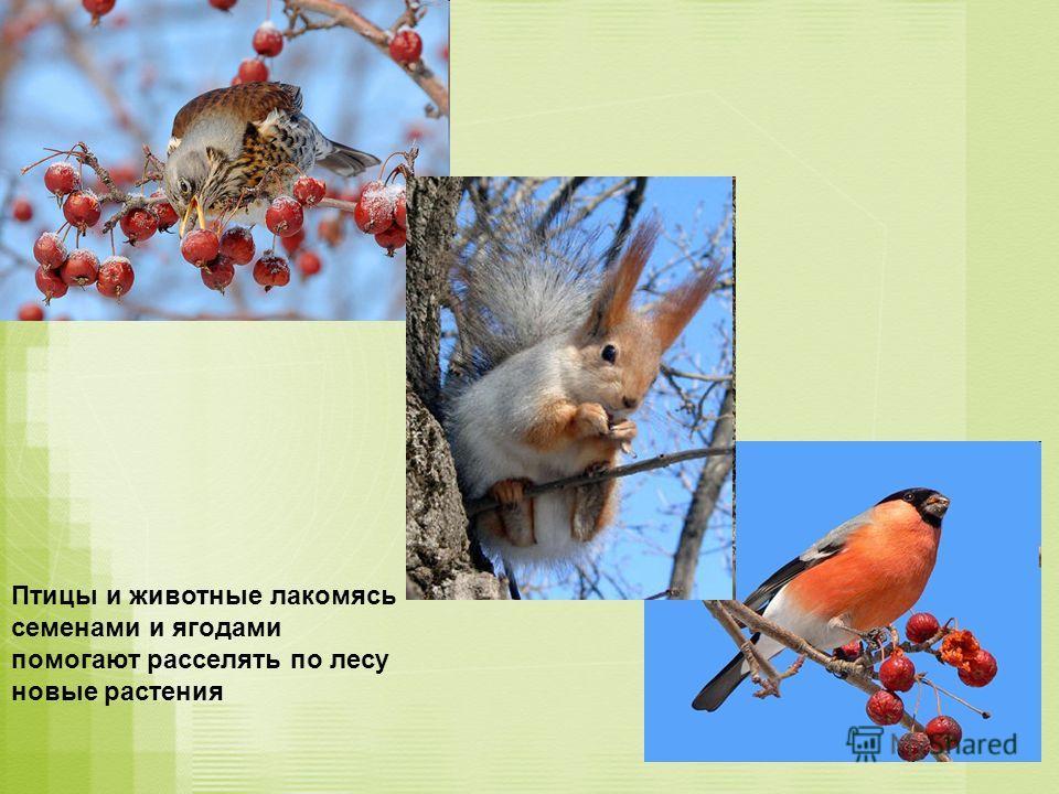 Птицы и животные лакомясь семенами и ягодами помогают расселять по лесу новые растения