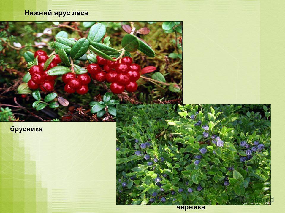 Нижний ярус леса брусника черника