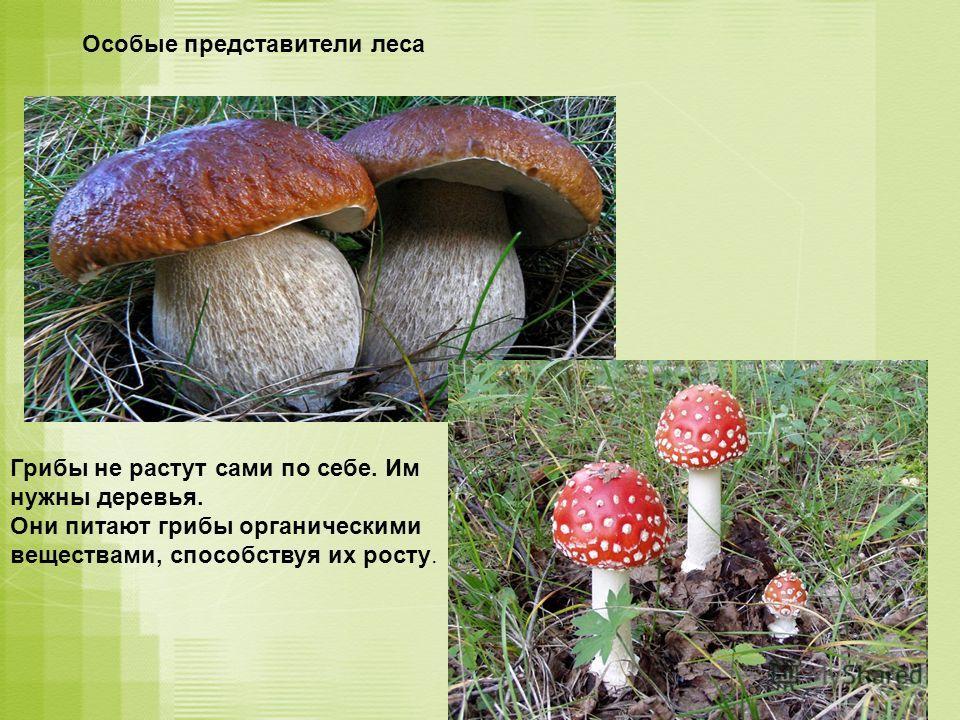 Особые представители леса Грибы не растут сами по себе. Им нужны деревья. Они питают грибы органическими веществами, способствуя их росту.