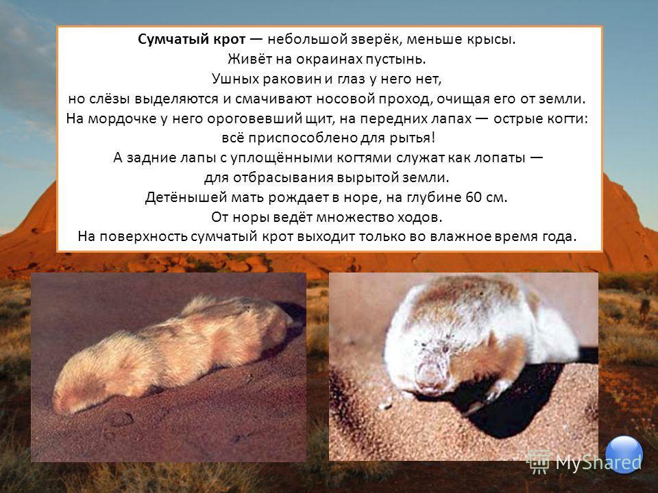 Сумчатый крот небольшой зверёк, меньше крысы. Живёт на окраинах пустынь. Ушных раковин и глаз у него нет, но слёзы выделяются и смачивают носовой проход, очищая его от земли. На мордочке у него ороговевший щит, на передних лапах острые когти: всё при